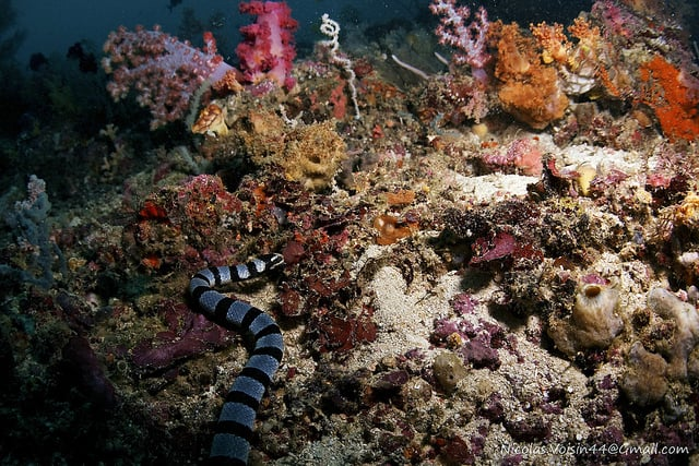 A sea snake in the reefs of Yapak (image courtesy of Nico Boxe).