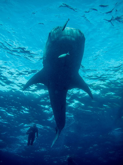 Whale-shark diving in Oslob, Philippines (image courtesy of Adam Brill).