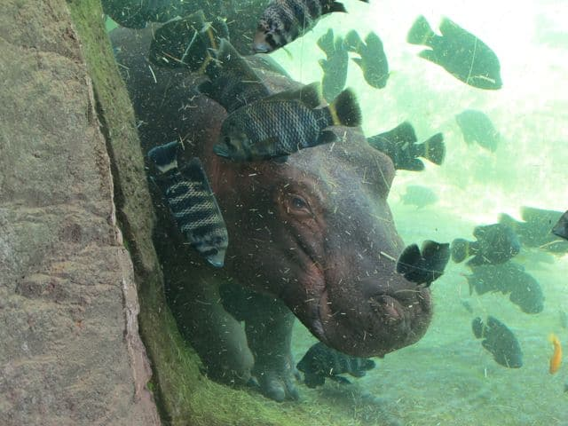 hippo-bioparc-photo