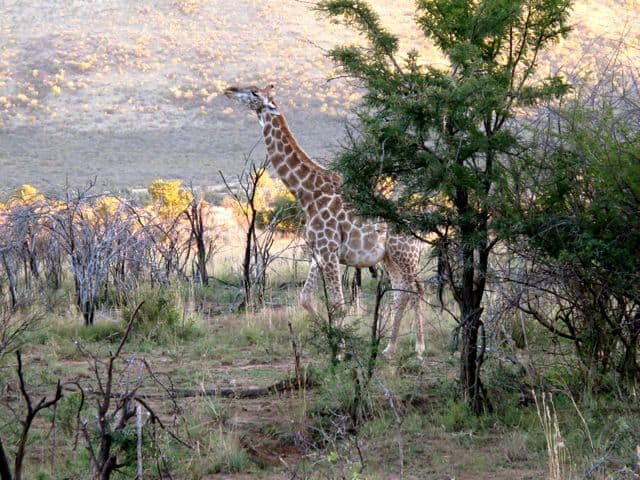 pilanesberg-giraffe-photo