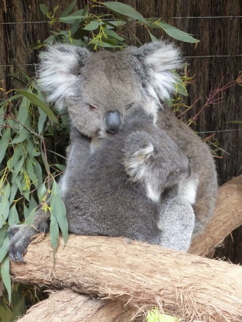 koalas-ballarat-wildlife-park-photo