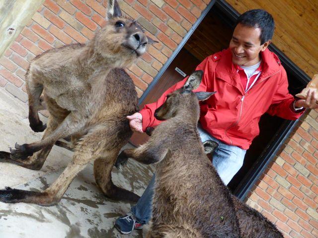 feeding-kangaroos-photo