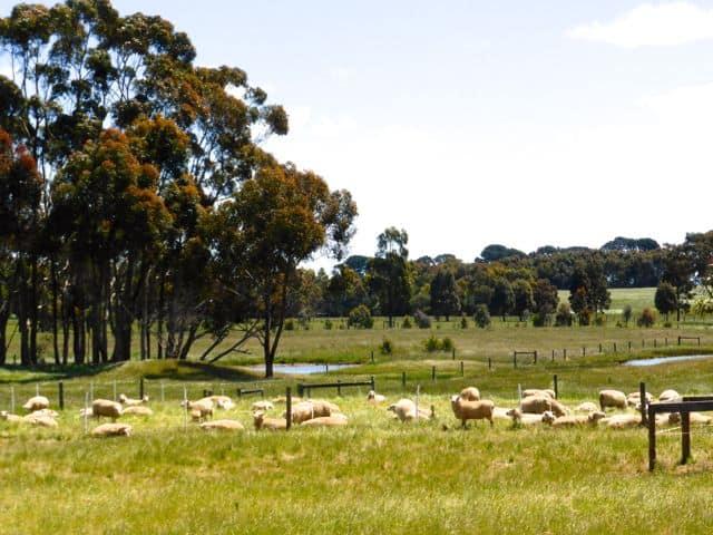 sheep-farming-photo