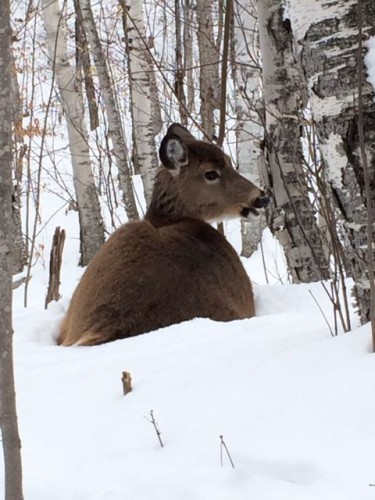 deer-in-snow-photo
