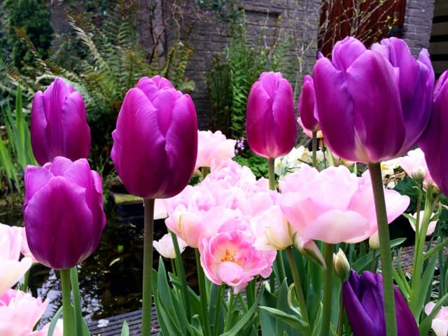 and the tulips in my garden show off their colours!