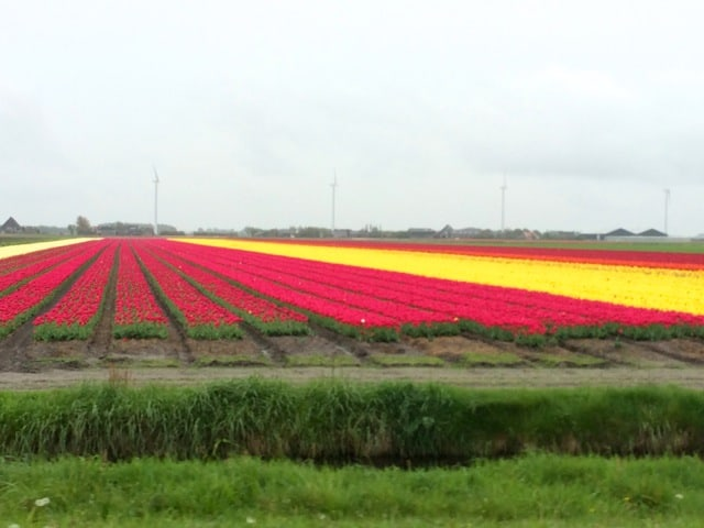 Fields of tulips.