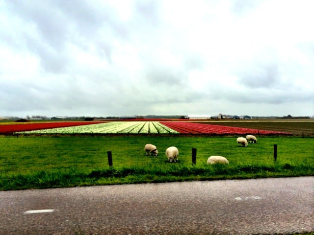 tulips-sheep-photo