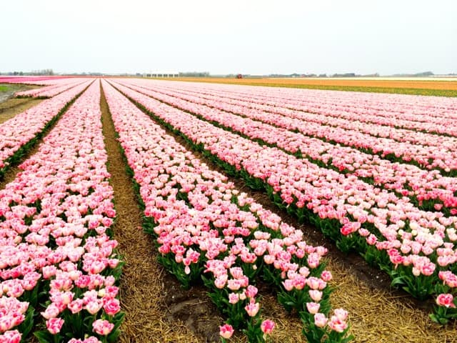 Tulips in Holland – oh what a sight!