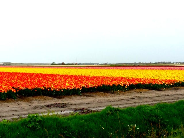 tulips-fields-noth-holland-photo