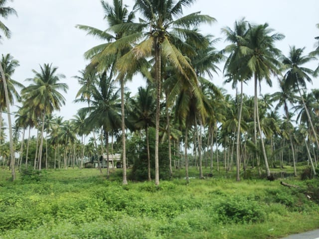 coconut-groves-malaysia-countryside-photo