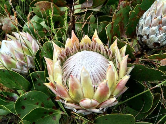 protea-flower-photo