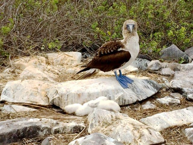 blue-footed-booby-galapagos-photo