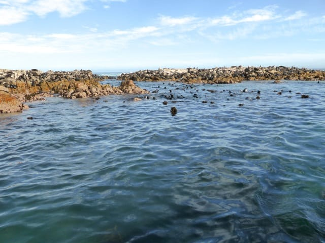 seals-dyer-island-western-cape-photo