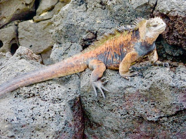 sea-iguana-galapagos-photo