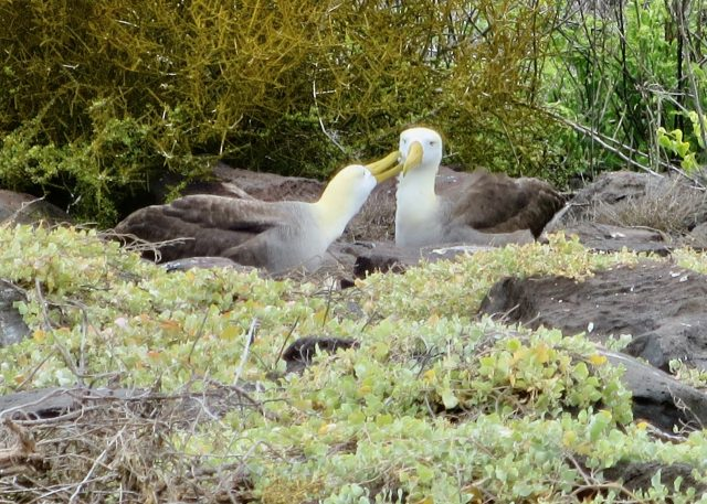 waved-albatross-galapagos-photo