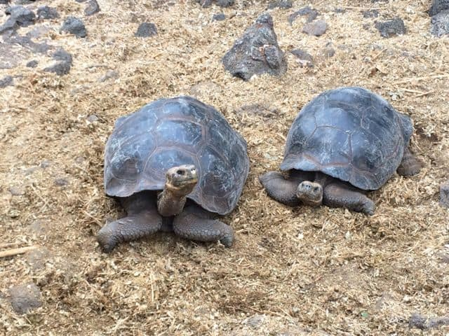 giant-tortoise-galapagos-photo