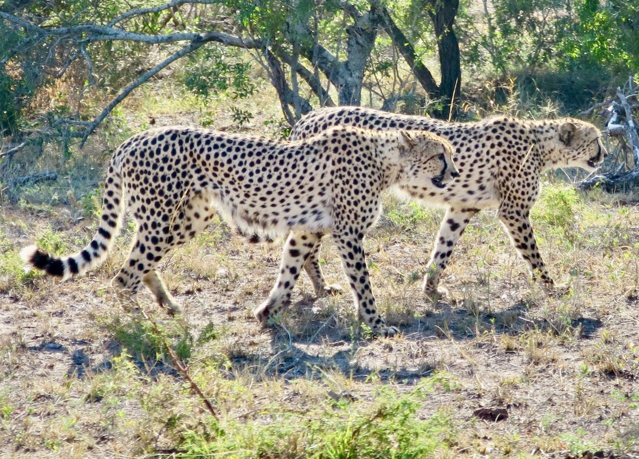 cheetahs-phinda-private-game-reserve-south-africa