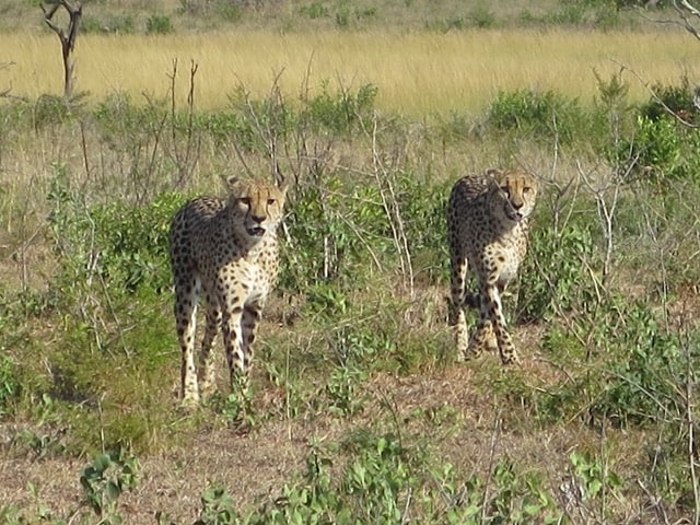 cheetahs-phinda-photo