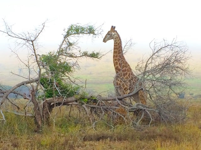 phinda-giraffe-photo