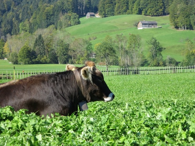 alpine-cow-bregenzerwald-photo