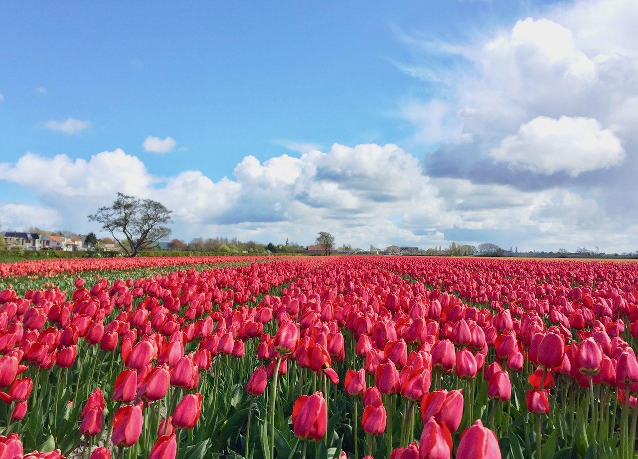 tulip-fields-bollenstreek-holland-photo