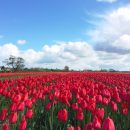 A drive around the tulip fields