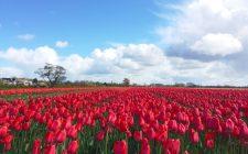 tulips-hillegom-photo
