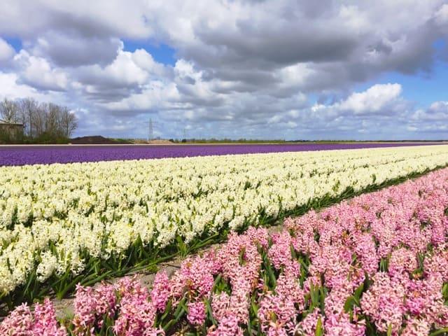hyacinths-holland-photo