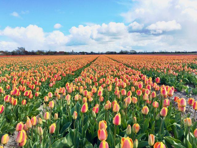 tulip-field-drive-lisse-photo