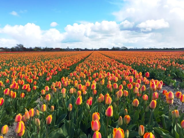 orange-yellow-tulips-photo