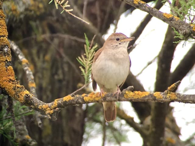 nightingale-photo