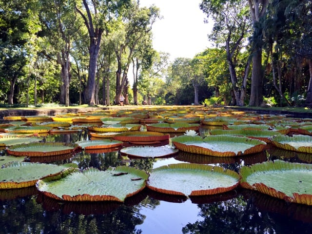giant-water-lilies-victoria-amazonica-mauritius-photo