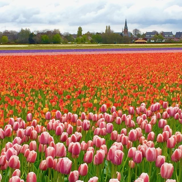 tulip-fields-hillegom-holland-photo