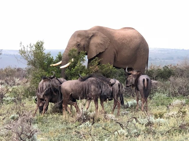 elephant-wildebeest-gondwana-photo