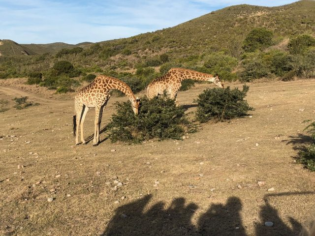 giraffes-gondwana-game-reserve-photo
