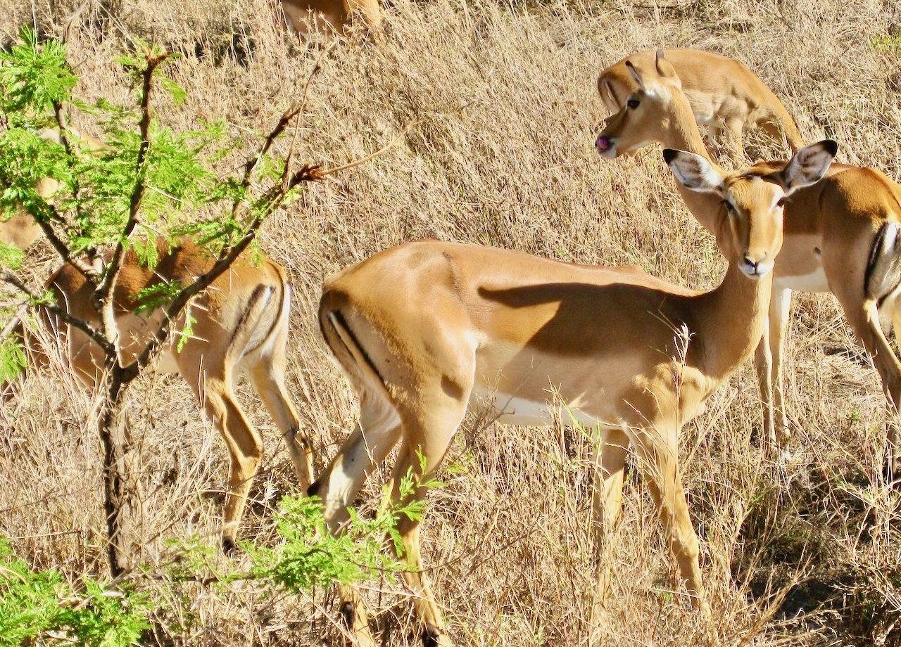 impala-serengeti-tanzania-photo