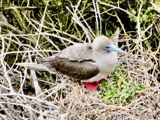 red-footed-booby-galapagos-photo